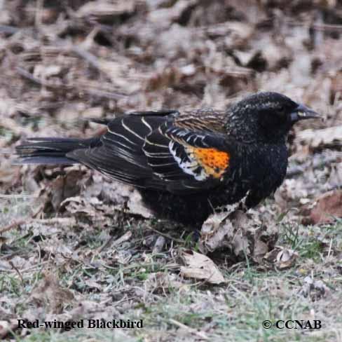 Black Birds - Birds by Color - North American Birds - Birds