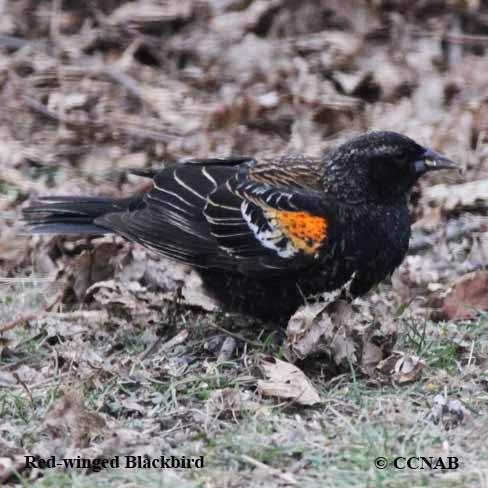 black birds, pictures of black birds