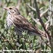 Savannah Sparrow (Large-billed)