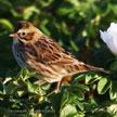Savannah Sparrow (red)
