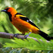 Spot-breasted Oriole