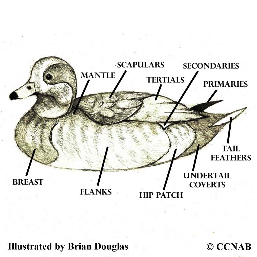 Waterfowl body names