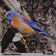 'Western Bluebird' from the web at 'http://www.birds-of-north-america.net/images/xWestern_Bluebird_T.jpg.pagespeed.ic.gHrDUocPXO.jpg'