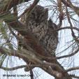Whiskered Screech-Owl