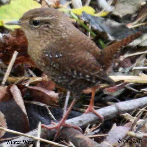 brown birds, pictures of brown birds